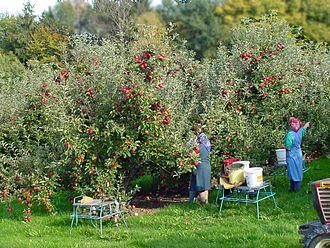 Fruit picking - Apple picking in Styria