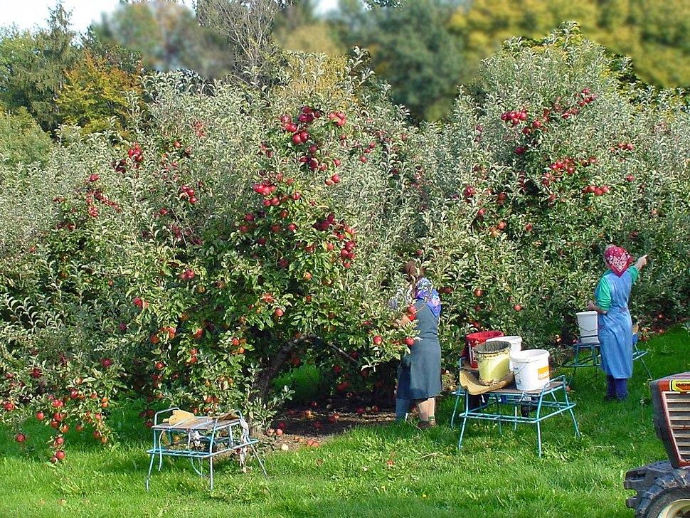 Apfelernte Steiermark 01
