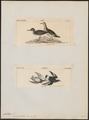 Aphriza borealis - 1700-1880 - Print - Iconographia Zoologica - Special Collections University of Amsterdam - UBA01 IZ17300043.tif