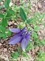 Aquilegia vulgaris sl9.jpg
