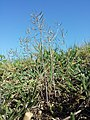 Arabidopsis thaliana sl21.jpg