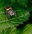 Araignée sauteuse.jpg