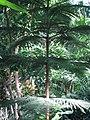 Araucaria heterophylla 01 by Line1.JPG