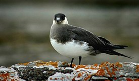 Arctic skua at svalbard norway.jpg