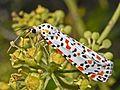 Arctiidae - Utetheisa pulchella-001.JPG