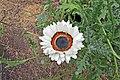 Arctotis fastuosa-IMG 6967.jpg