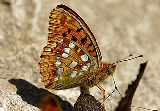 High brown fritillary - Ventral side, Austria