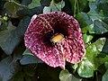 Aristolochia littoralis.jpg