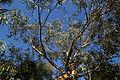 Arkesden Eucalyptus, Essex, England.jpg