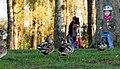 Army Of Ducks (87682817).jpeg