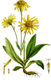 Arnica montana-Flora Homoeopathica-06-1 082.png
