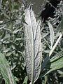 Artemisia ludoviciana (7934140268).jpg