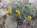 Artemisia sp. genepi.jpg