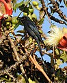 Ashy Drongo Dicrurus leucophaeus by Dr. Raju Kasambe DSCN0163 (6).jpg