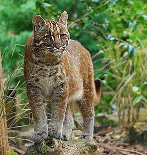 Asian golden cat Small wild cat