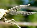 Aspitates gilvaria antennae.jpg