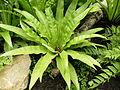 Asplenium nidus (3).JPG