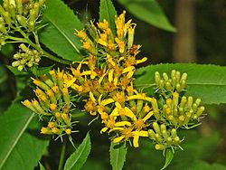 Asteraceae - Senecio ovatus.JPG