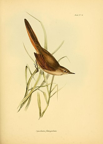 Sharp-billed canastero - Image: Asthenes pyrrholeuca Gould