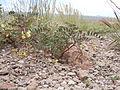 Astragalus aquilonius (4729813149).jpg