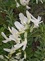 Astragalus lentiginosus flower-3-18-05.jpg