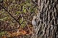 At last, a grey-brown squirrel again (27287316574).jpg