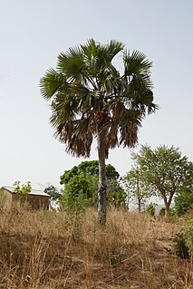 Borasseae Tribe of palms