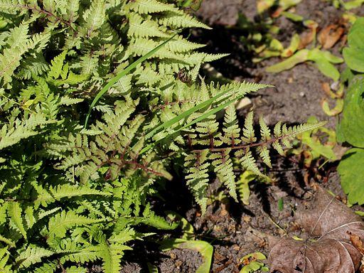 Athyrium niponicum var. pictum 'Silver Falls' 02