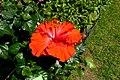 Atlas roslin pl Ketmia róża chińska 10667 9273.jpg