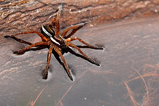 Raft spider species of arachnid