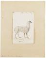 Auchenia pacos - 1700-1880 - Print - Iconographia Zoologica - Special Collections University of Amsterdam - UBA01 IZ21600109.tif