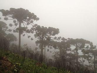 Araucaria angustifolia - Araucaria angustifolia in Campos do Jordão