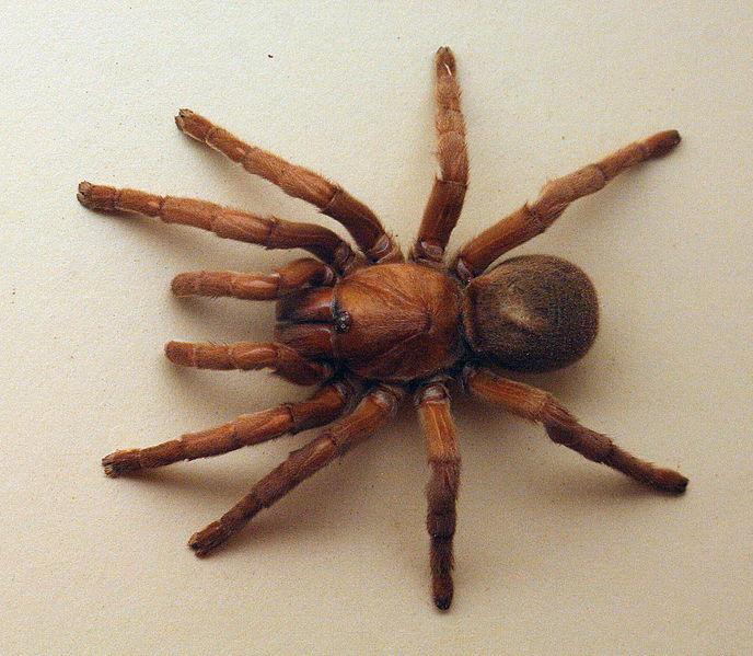 File:AustralianMuseum spider specimen 34.JPG