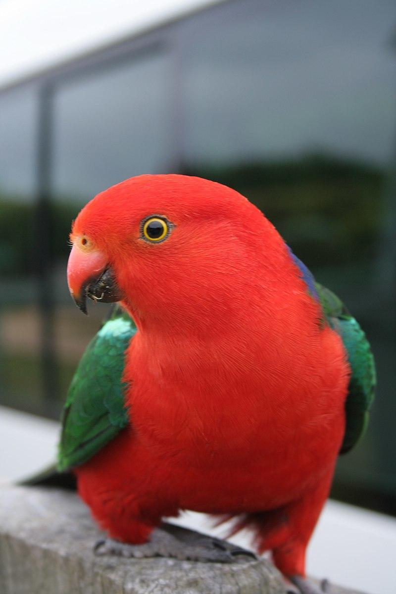 papuga krolewska