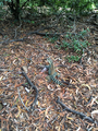 Australian Water Dragon in the bushes in the Botanic Gardens.png