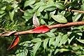 Austromyrtus dulcis 0zz.jpg