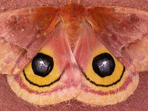 Automeris io - Eyespots on a female moth