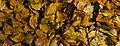 Autumn Leaves (4035690472).jpg