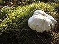 Autumn fungus - geograph.org.uk - 1491618.jpg