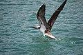 Ave volando en las islas Galapagos.jpg