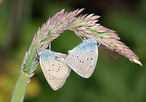 Lycaenidae - Mating P. semiargus