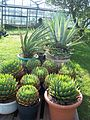 BCSS gloucester branch auction - The national agave collection (6207539690).jpg