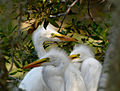 Baby Great Egrets on Callawassie Island.jpg