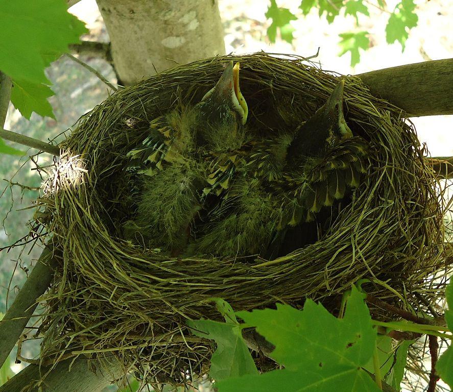 Vtáky hniezdia v korunách stromov