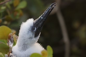 Red-footed booby - Juvenile red-footed booby poking his head out of his nest on Half Moon Caye, Belize