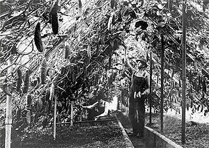 Greenhouse - Cucumbers reached to the ceiling in a greenhouse in Richfield, Minnesota, where market gardeners grew a wide variety of produce for sale in Minneapolis, circa 1910