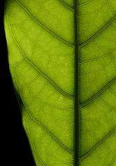 Backlit ficus elastica leaf texture 2014 02.jpg