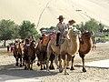 Bactrian Camels (42262487442).jpg