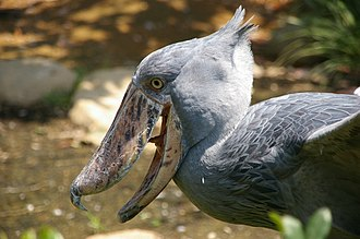 Shoebill - The shoebill's conspicuous bill is its most well-known feature.