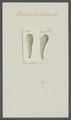 Balanus fistulosus - - Print - Iconographia Zoologica - Special Collections University of Amsterdam - UBAINV0274 101 02 0027.tif